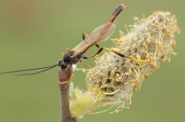Наездник-насекомое-Описание-особенности-виды-образ-жизни-и-среда-обитания-наездника-15