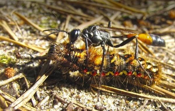 Наездник-насекомое-Описание-особенности-виды-образ-жизни-и-среда-обитания-наездника-16