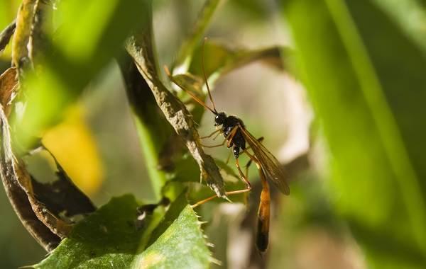 Наездник-насекомое-Описание-особенности-виды-образ-жизни-и-среда-обитания-наездника-17