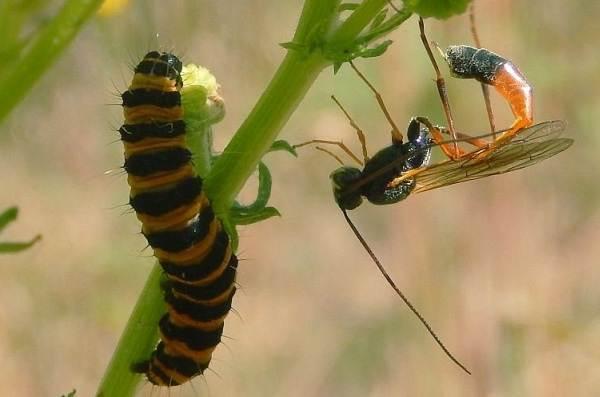 Наездник-насекомое-Описание-особенности-виды-образ-жизни-и-среда-обитания-наездника-19