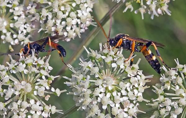 Наездник-насекомое-Описание-особенности-виды-образ-жизни-и-среда-обитания-наездника-20