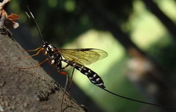 Наездник-насекомое-Описание-особенности-виды-образ-жизни-и-среда-обитания-наездника-22