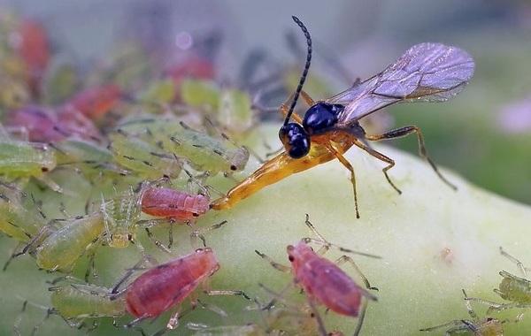 Наездник-насекомое-Описание-особенности-виды-образ-жизни-и-среда-обитания-наездника-25