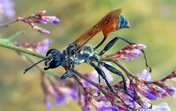 Наездник-насекомое-Описание-особенности-виды-образ-жизни-и-среда-обитания-наездника-4