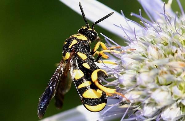 Наездник-насекомое-Описание-особенности-виды-образ-жизни-и-среда-обитания-наездника-5