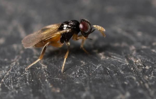 Наездник-насекомое-Описание-особенности-виды-образ-жизни-и-среда-обитания-наездника-6