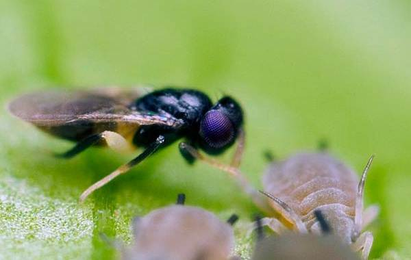 Наездник-насекомое-Описание-особенности-виды-образ-жизни-и-среда-обитания-наездника-8