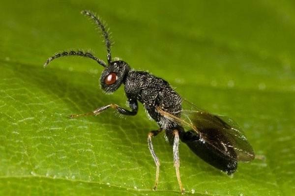 Наездник-насекомое-Описание-особенности-виды-образ-жизни-и-среда-обитания-наездника-9