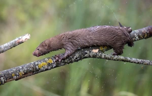 Норка-животное-Описание-особенности-виды-образ-жизни-и-среда-обитания-норки-13