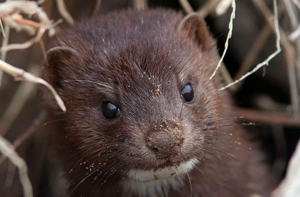 Норка-животное-Описание-особенности-виды-образ-жизни-и-среда-обитания-норки-2