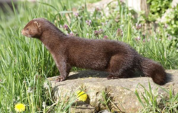 Норка-животное-Описание-особенности-виды-образ-жизни-и-среда-обитания-норки-9