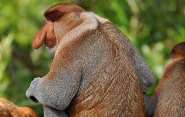 Носач-обезьяна-Описание-особенности-виды-образ-жизни-и-среда-обитания-носача-1
