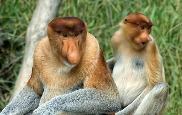 Носач-обезьяна-Описание-особенности-виды-образ-жизни-и-среда-обитания-носача-10