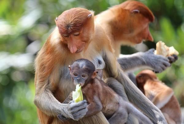 Носач-обезьяна-Описание-особенности-виды-образ-жизни-и-среда-обитания-носача-12