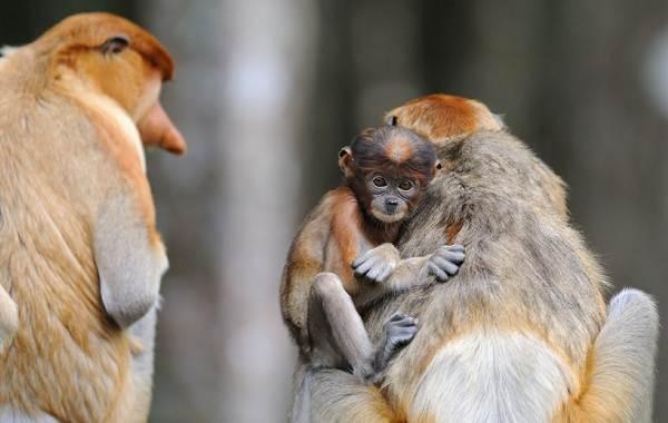 Носач-обезьяна-Описание-особенности-виды-образ-жизни-и-среда-обитания-носача-13
