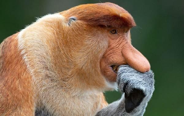 Носач-обезьяна-Описание-особенности-виды-образ-жизни-и-среда-обитания-носача-2