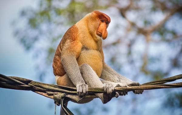 Носач-обезьяна-Описание-особенности-виды-образ-жизни-и-среда-обитания-носача-3