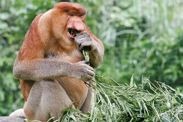 Носач-обезьяна-Описание-особенности-виды-образ-жизни-и-среда-обитания-носача-4