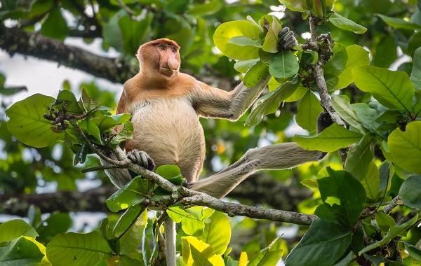 Носач-обезьяна-Описание-особенности-виды-образ-жизни-и-среда-обитания-носача-5