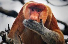 Носач обезьяна. Описание, особенности, виды, образ жизни и среда обитания носача