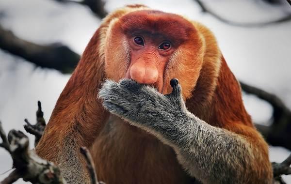 Носач-обезьяна-Описание-особенности-виды-образ-жизни-и-среда-обитания-носача-6