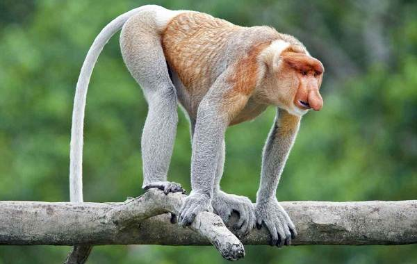 Носач-обезьяна-Описание-особенности-виды-образ-жизни-и-среда-обитания-носача-7