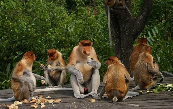Носач-обезьяна-Описание-особенности-виды-образ-жизни-и-среда-обитания-носача-9