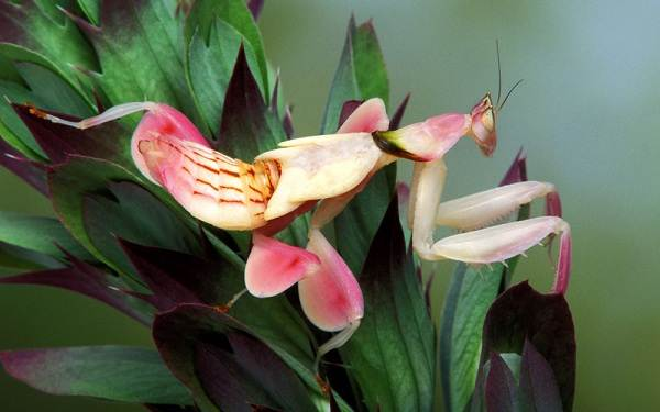 Орхидейный-богомол-насекомое-Описание-особенности-образ-жизни-и-среда-обитания-богомола-1