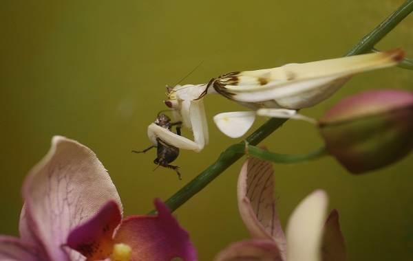 Орхидейный-богомол-насекомое-Описание-особенности-образ-жизни-и-среда-обитания-богомола-10