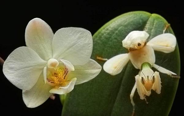 Орхидейный-богомол-насекомое-Описание-особенности-образ-жизни-и-среда-обитания-богомола-12