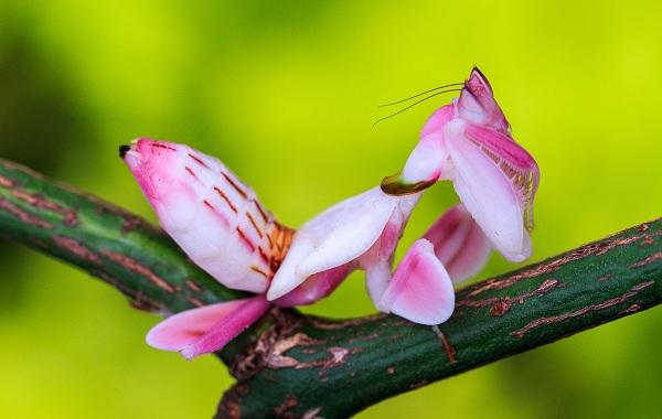 Орхидейный-богомол-насекомое-Описание-особенности-образ-жизни-и-среда-обитания-богомола-14