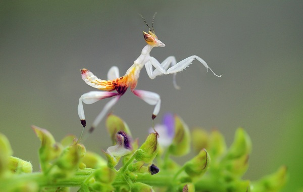 Орхидейный-богомол-насекомое-Описание-особенности-образ-жизни-и-среда-обитания-богомола-15