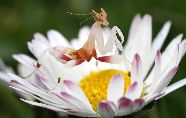 Орхидейный-богомол-насекомое-Описание-особенности-образ-жизни-и-среда-обитания-богомола-16