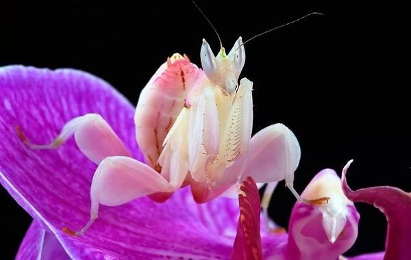 Орхидейный-богомол-насекомое-Описание-особенности-образ-жизни-и-среда-обитания-богомола-2