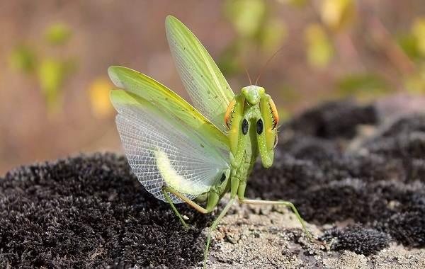 Орхидейный-богомол-насекомое-Описание-особенности-образ-жизни-и-среда-обитания-богомола-4