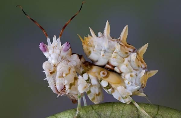 Орхидейный-богомол-насекомое-Описание-особенности-образ-жизни-и-среда-обитания-богомола-6