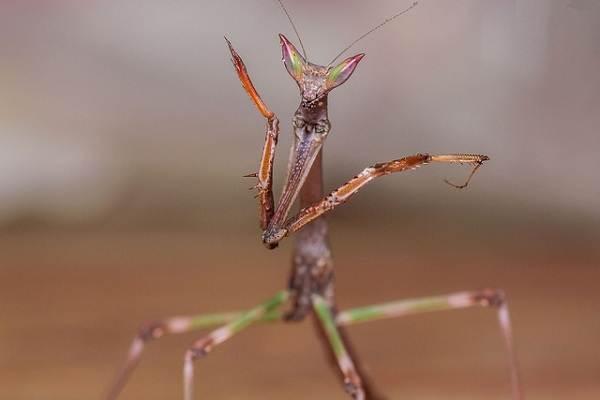 Орхидейный-богомол-насекомое-Описание-особенности-образ-жизни-и-среда-обитания-богомола-8