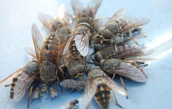 Овод-насекомое-Описание-особенности-виды-образ-жизни-и-среда-обитания-овода-3
