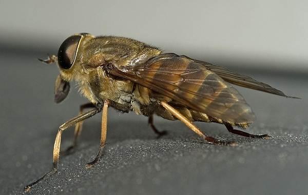 Овод-насекомое-Описание-особенности-виды-образ-жизни-и-среда-обитания-овода-4