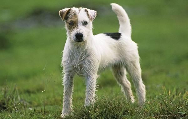 Парсон-рассел-терьер-собака-Описание-особенности-виды-характер-и-уход-за-породой-1