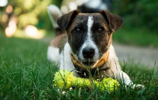 Парсон-рассел-терьер-собака-Описание-особенности-виды-характер-и-уход-за-породой-11