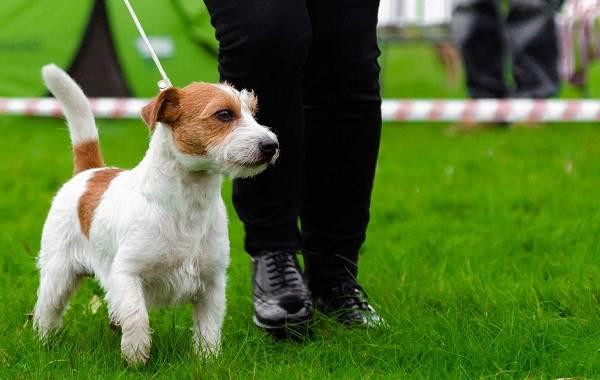 Парсон-рассел-терьер-собака-Описание-особенности-виды-характер-и-уход-за-породой-12