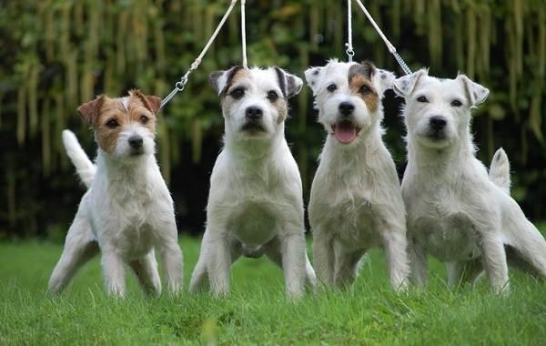 Парсон-рассел-терьер-собака-Описание-особенности-виды-характер-и-уход-за-породой-13