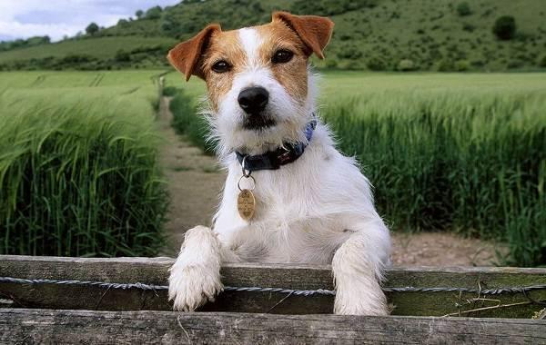 Парсон-рассел-терьер-собака-Описание-особенности-виды-характер-и-уход-за-породой-14