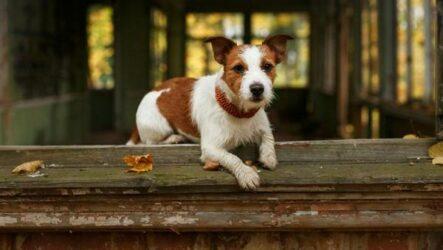 Парсон рассел терьер собака. Описание, особенности, виды, характер и уход за породой