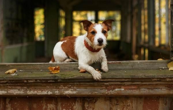 Парсон-рассел-терьер-собака-Описание-особенности-виды-характер-и-уход-за-породой-15
