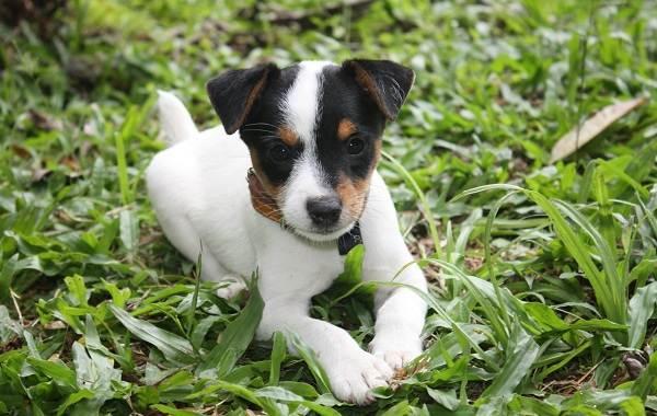 Парсон-рассел-терьер-собака-Описание-особенности-виды-характер-и-уход-за-породой-16
