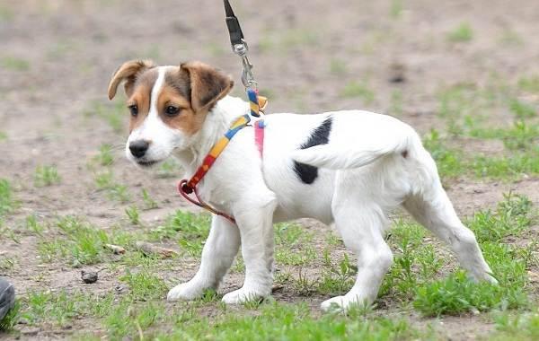 Парсон-рассел-терьер-собака-Описание-особенности-виды-характер-и-уход-за-породой-17