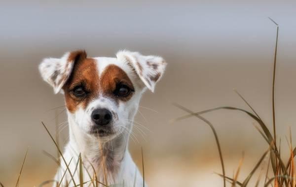 Парсон-рассел-терьер-собака-Описание-особенности-виды-характер-и-уход-за-породой-5