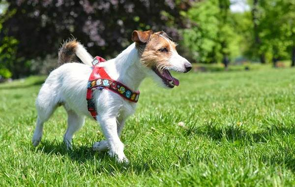 Парсон-рассел-терьер-собака-Описание-особенности-виды-характер-и-уход-за-породой-6